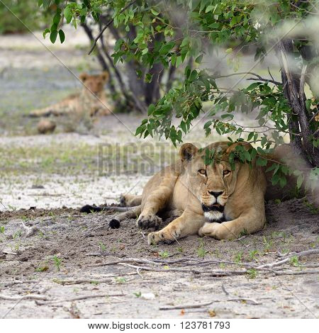 Lioness In Bush,  Namibia