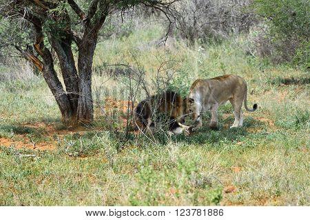 Lions In Etosha, Namibia