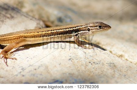 Iberian Wall Lizard or Podarcis hispanica a small wall lizard species of the genus Podarcis found in the Iberian peninsula