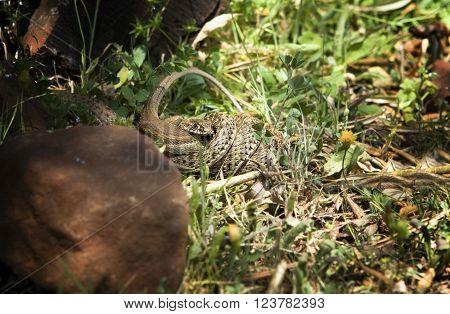 Snake attacking a lizard Alor Mountain Range Extremadura Spain