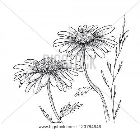 Chamomile hand drawn flowers background, isolated on white