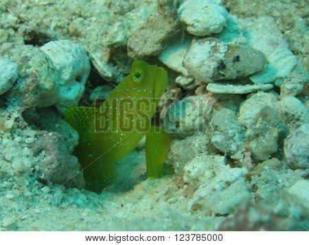Yellow prawn-goby (cryptocentrus cinctus) guarding the entrance to its burrow.