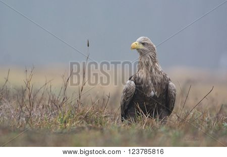 White tailed eagle (Haliaeetus albicilla) in natural scenery