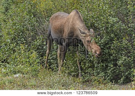 Moose Feeding in the Willows in Denali National Park in Alaska