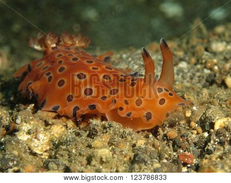 Ocellated orange nudibranch found in Lembeh Strait Indonesia.