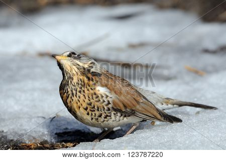Fieldfare (Turdus pilaris) basks at the sun just after season migration arriving in spring field