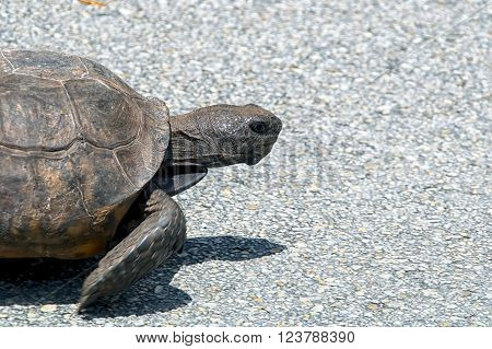 Gopher Tortoise Walking