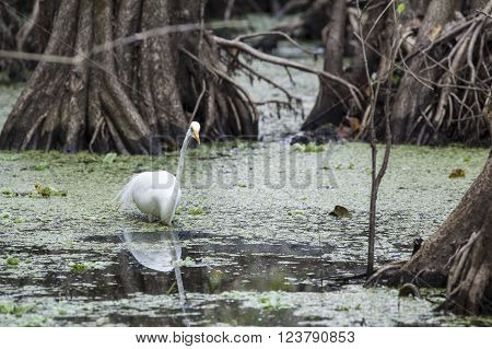 Great Egret pauses among cypress trees to assess situation