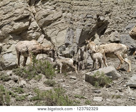 Big Horn Sheep Ewes and Kids Family Gathering