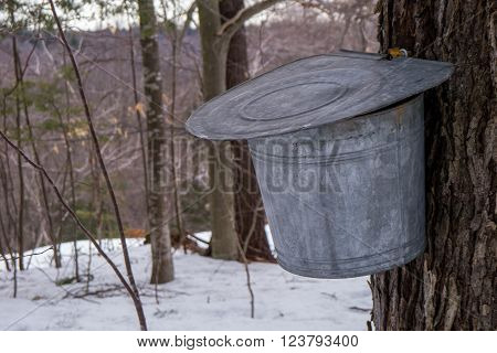 maple syrup bucket collecting sap from a tree