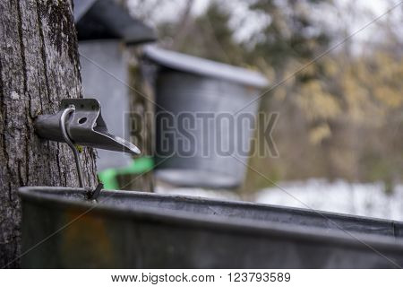 a tap in a tree collecting sap for maple syrup