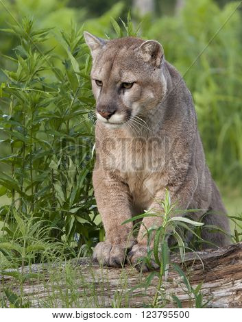 Peaceful Cougar with Paws Resting on Log