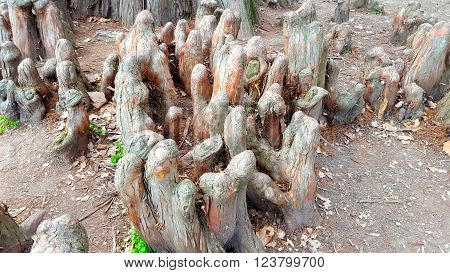 Cypress knees of a bald cypress tree in a Hungarian park