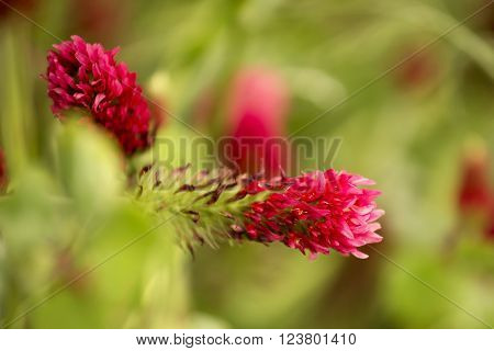 Flower of red trefoil in the green field and shallow depth of field