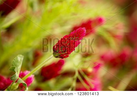 Red trefoil flowers and shallow depth of field