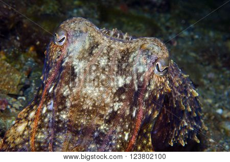 Squid Hiding To Catch Small Fish