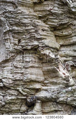 Closeup of bark of Quercus suber, cork oak tree, primary source of cork for wine bottle stoppers.