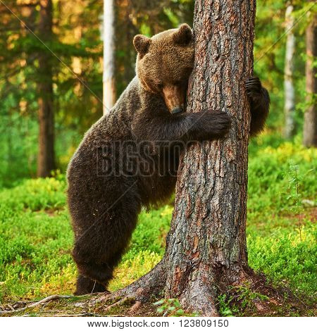 brown bear very tired leans against a tree in a brown bear very tired leans against a tree in a Finnish forest