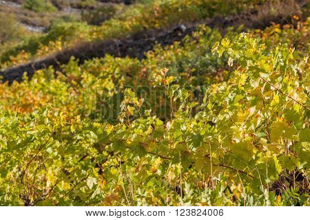 Winery Forest vineyard agriculture harverst autumn Troodos Cyprus ** Note: Shallow depth of field