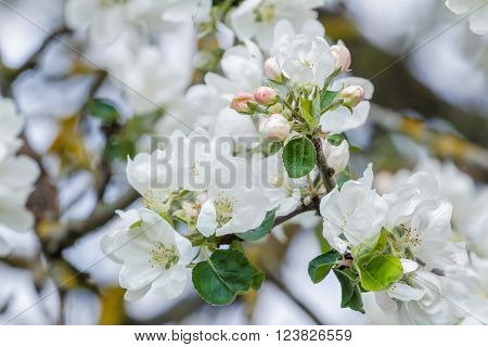 New spring season apple tree branch in full bloom with pink and white soft flowers