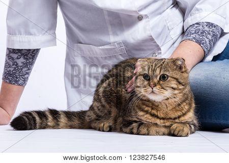 Scottish fold cat sitting near woman's hands on white background