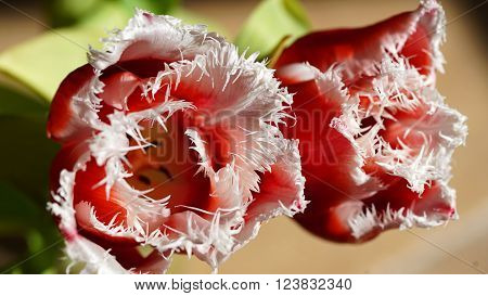Red and white shaggy tulips on floral background