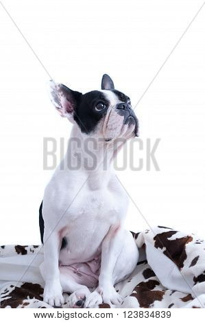 Black and white Frenchie looking up while sitting on pillow - copy space available