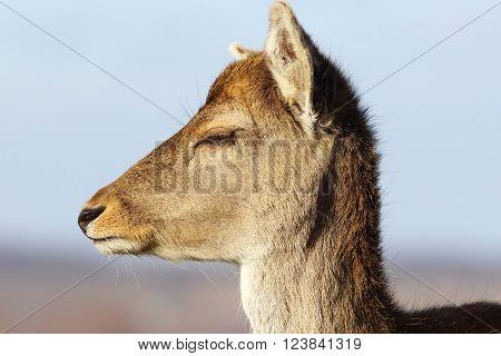 closeup of fallow deer doe head ( Dama dama female portrait )