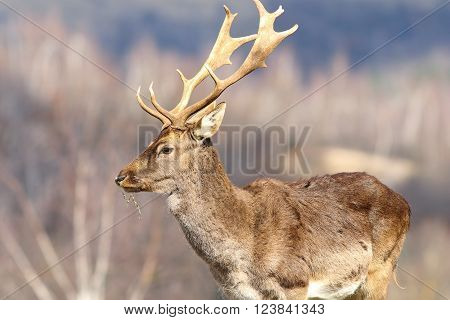 close up of fallow deer stag in a clearing ( Dama dama )