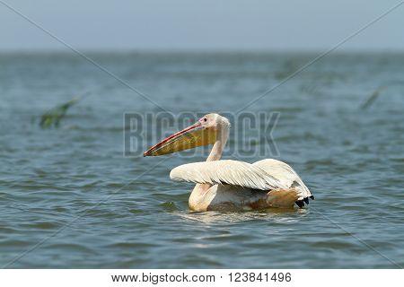 great pelican floating on blue water ( Pelecanus onocrotalus )
