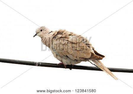 turtledove standing on electric wire isolated over white background ( Streptopelia decaocto )
