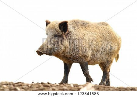 huge wild boar walking on mud ( Sus scrofa ) isolated over white background