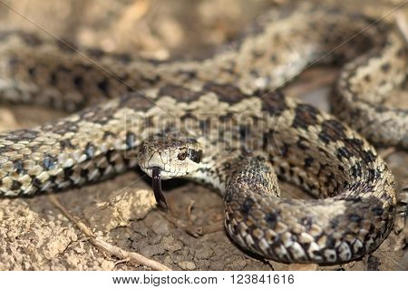 male meadow viper ready to strike ( Vipera ursinii rakosiensis ); this is the most endangered snake species from Europe