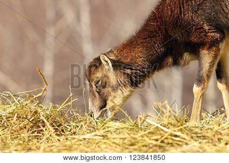 mouflon calf eating hay ( Ovis orientalis )