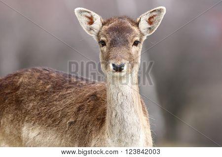 portrait of beautiful fallow deer doe looking at the camera ( Dama dama )