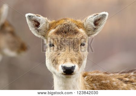 portrait of cute fallow deer hind looking at the camera ( Dama dama )