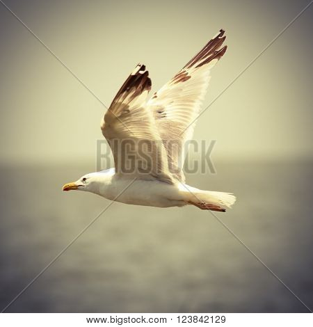 vintage image of seagull in flight ( caspian gull Larus cachinnans )
