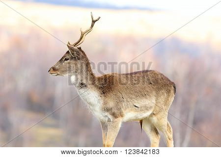 young fallow deer stag over out of focus background ( Dama dama )