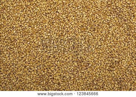 organic wheat grains as a colored background