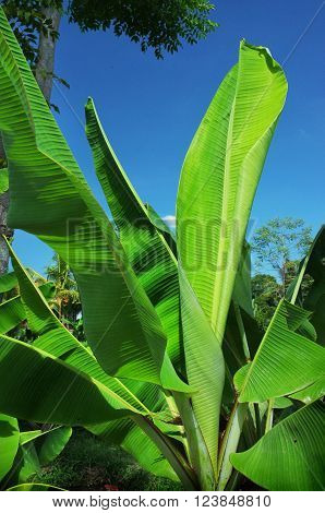 The bright-green broad leaves of a young banana tree dominate a rural Balinese landscape in Ubud Bali Indonesia.