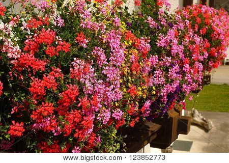Colorful geraniums on a balcony in summer