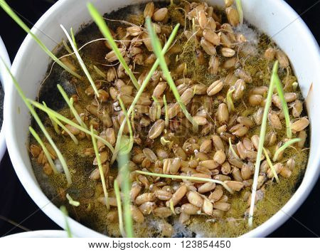 wheat grass grow for feeding dog and cat in paper cup ** Note: Soft Focus at 100%, best at smaller sizes