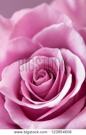 beautiful pink rose flower closeup background