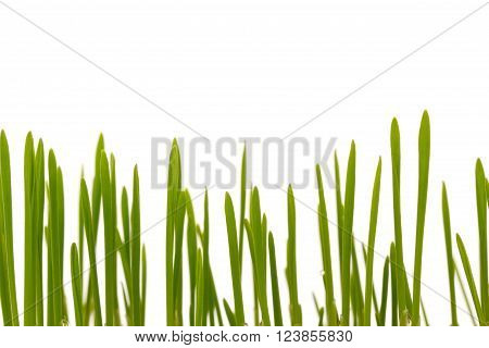 hard grass blades released on a white background