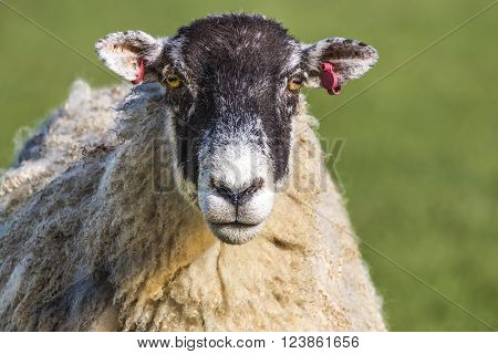 Head portrait of North of England Mule Sheep ewe staring straight ahead