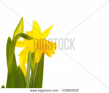 a daffodils exempted on a white background