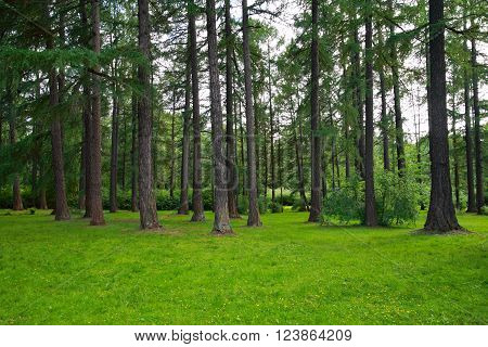 Pictured here pine trees in a park
