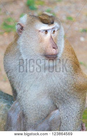 Adult Big Monkey
