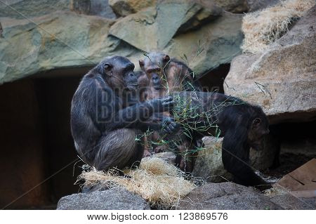 Chimpanzee sitting on the rock at autumn time