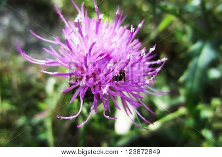 violet flower with bee nature life background green leafage leaf